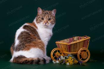 Пеппи Длинный Чулок. <p>Шотландская прямоухая кошка</p>
