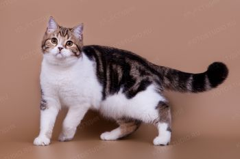 Demaris Taller. <p>Кот породы скоттиш-страйт</p>
