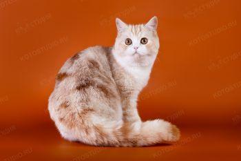 Marmorensy's Unchano Fix. <p>Шотландский прямоухий кот</p>