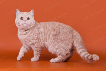 Nikolas Foldberry. <p>Кот скоттиш-страйт из г. Тольятти</p>