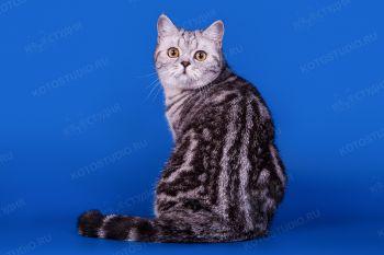 Кошка породы скоттиш-страйт.