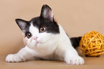 Zia Marie of Lanvabon. <p>Шотландская прямоухая кошка</p>