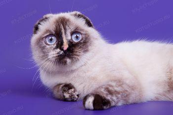 Bonnee Dream Point. <p>Кошка шотландской вислоухой породы из г. Волгоград</p>
