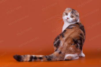 Fortuna Valedgio. <p>Шотландская вислоухая кошка, г. Сочи</p>