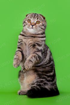 Инора, кошка шотландской вислоухой породы.
