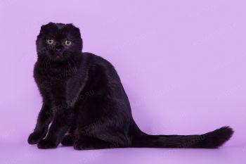 Молли из питомника Pussy Home. Шотландская вислоухая кошка черного окраса.