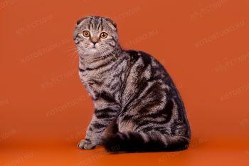 Инора. <p>Кошка породы скоттиш-фолд</p>