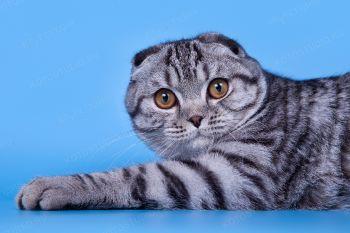Kalevallafold Shy-Shy. <p>Шотландский вислоухий кот</p>