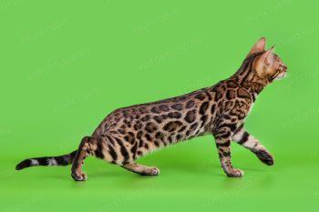 Котенок Бенгальской породы.
