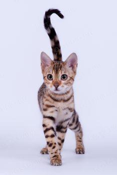 Бенгальский котенок из питомника GLAM SHINE.