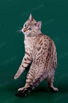 Don Carleone. <p>Бенгальский кот</p>