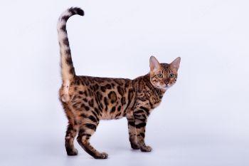 Leogrand City Brigitte. <p>Бенгальская кошка</p>
