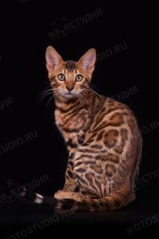 Кошка бенгальской породы.