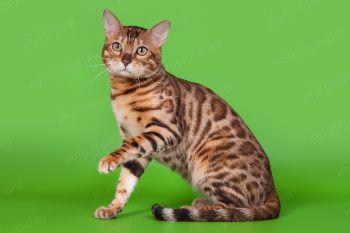 Бенгальский кот Enver Volga Jungle. Питомник Volga Jungle.