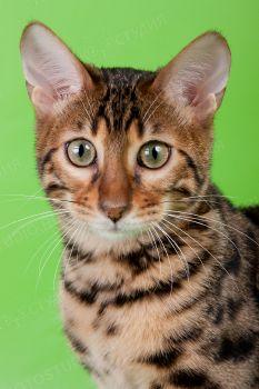 Russicats Chiff. <p>Бенгальский кот</p>