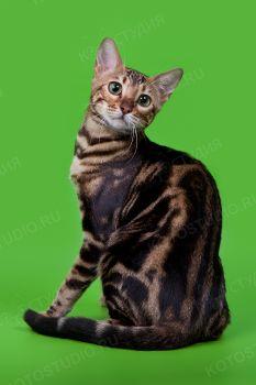 Бенгальская кошка из питомника Grand Astra.