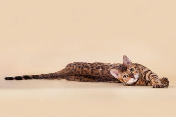 Кошка бенгальской породы