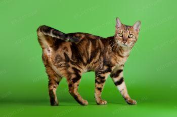 Lurdes Rudnev Praid. <p>Бенгальский кот</p>