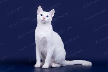Vivat Kotavi Destin . Кот породы Гигантская Афродита