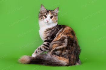 Кошка породы Норвежская лесная.