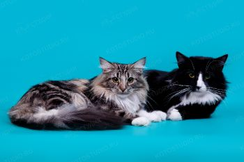 Dustin и Danielle. <p>Норвежские лесные кот и кошка</p>