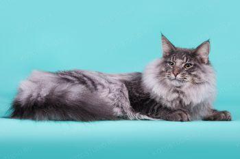 Кошка породы Норвежская лесная
