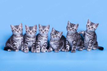 Котята породы Американская короткошерстная.