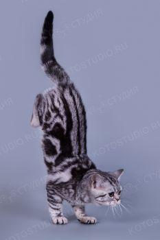 Котенок породы Американская короткошерстная