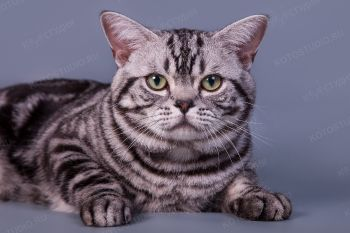 Кот породы Американская короткошерстная.