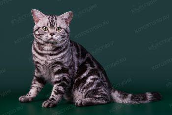 Кошка породы Американская короткошерстная.