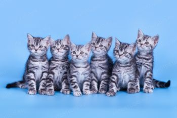 Котята породы АКШ.