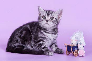 Котенок породы Американская короткошерстная.