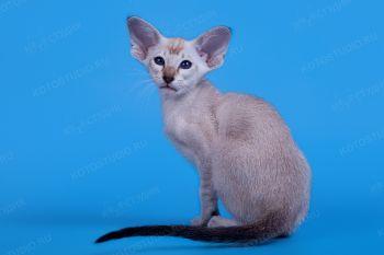 Сиамский котенок из г. Новороссийска.