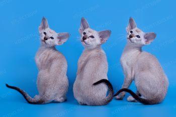 Сиамские котята на голубом.