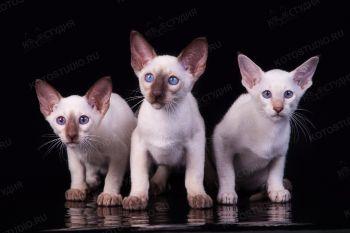 Сиамский котенок.