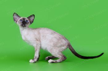 Сиамский котенок из питомника AKIRA-NEKO.