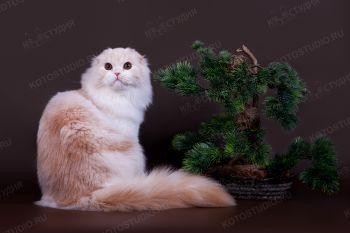 Demaris Tortik Moy. <p>Кот породы Хайленд фолд</p>