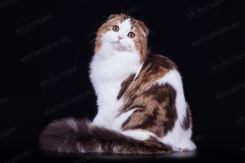 Simba Volga Dawn's, черный мраморный биколорный кот породы Хайленд-фолд. Питомник Volga Dawn's, г.Самара.