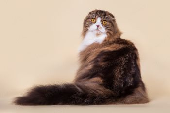 Кошка породы Хайленд фолд.