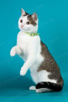 Снежинка. <p>Домашняя кошка</p>