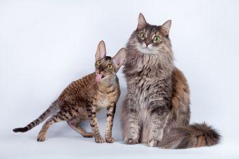 Сосиска с Чернушкой. <p>Домашняя кошка и корниш-рекс</p>