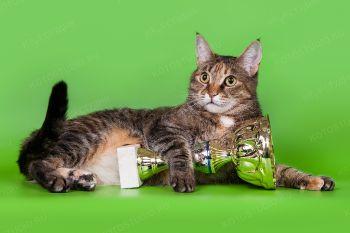 Домашняя кошка Маруся. Окрас: f 09 23.