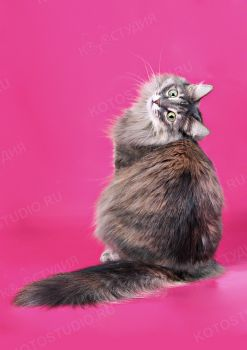 Наша домашняя кошка Сосиска.