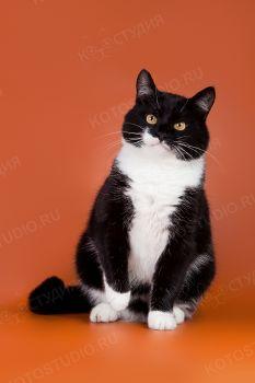 Домашний кот Пушок.