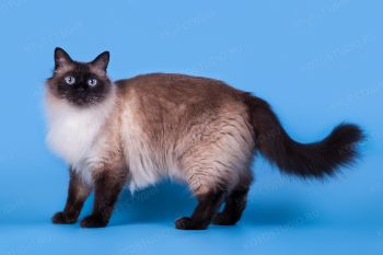 Домашняя кошка.