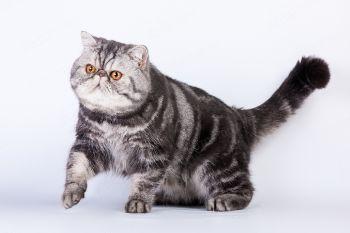 Атаман Маки - экзотический короткошерстный кот. <p>Заводчик Лидия Кротова, г. Астрахань</p>