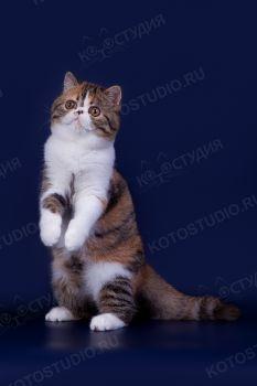 Кошка породы Экзотическая короткошерстная.