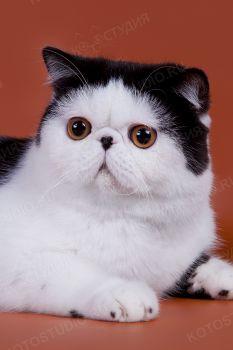 Экзотический кот из питомника Exotic Pleasure.