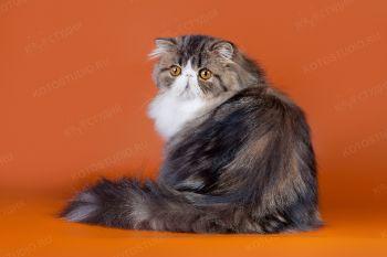 Ark Star Souvenir. <p>Персидский кот, заводчица Венера Хисметова, г. Ульяновск</p>