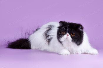 Titbit Nice Girl. <p>Кошка Персидской породы из г. Самара</p>